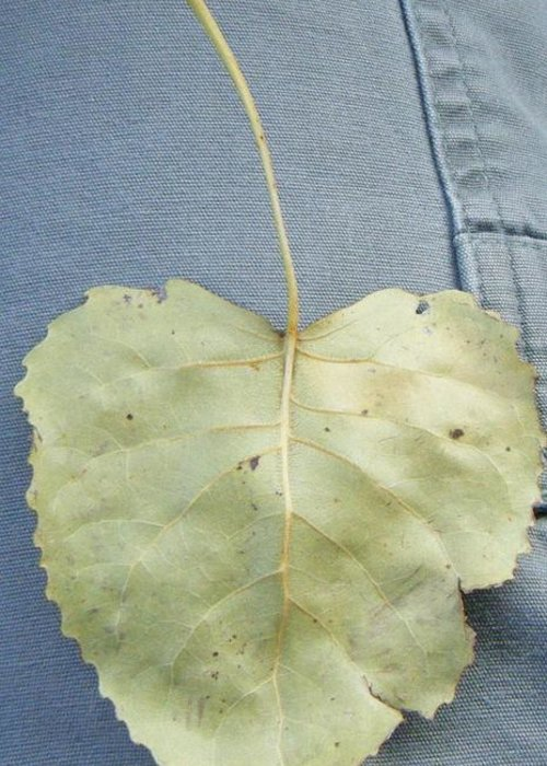 Greeting Card featuring the photograph Heart Leaf by Christy Hicks