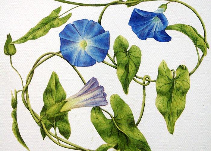 Heavenly Blue Morning Glory Greeting Card featuring the painting Heavenly Blue Morning Glory by Veronika Logar