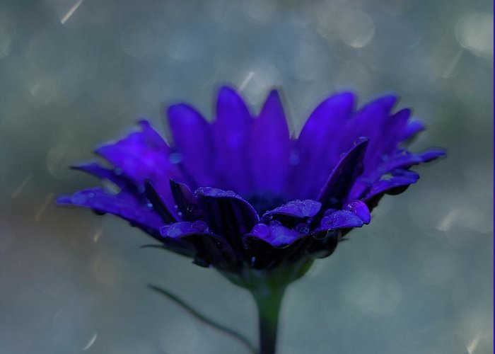 Purple Greeting Card featuring the photograph Hello Rain by Susan Schmidt