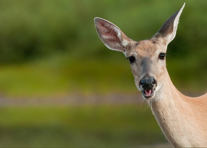Doe Greeting Card featuring the photograph Hello by Sebastian Musial