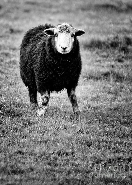 Sheep Greeting Card featuring the photograph Herdwick Sheep by Meirion Matthias