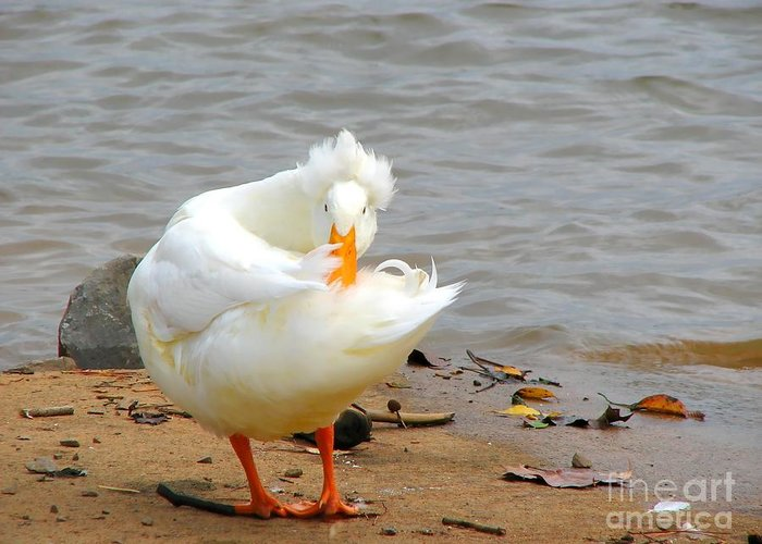 Duck Greeting Card featuring the photograph Here's Looking At You by Todd Blanchard