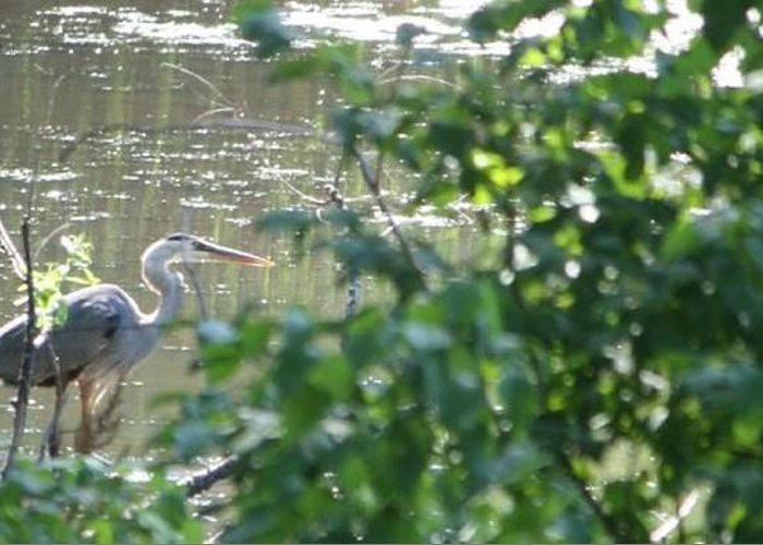 Blue Heron Greeting Card featuring the photograph Heron by Debra Sandstrom