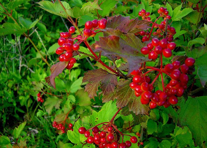 Hi Bush Cranberries Berries Greeting Card featuring the photograph Hi Bush Cranberry Close Up by Joanne Smoley