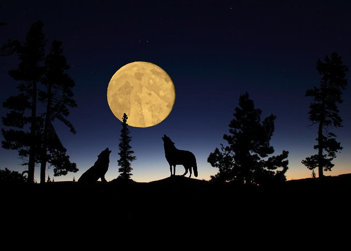 Carnivore Greeting Card featuring the photograph Hidden Wolves by Shane Bechler