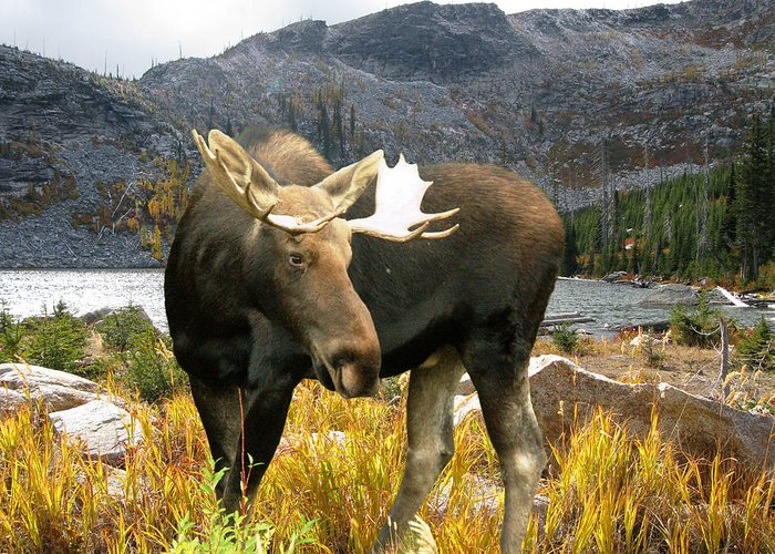 Moose Greeting Card featuring the photograph High Country Moose by Robert Bissett