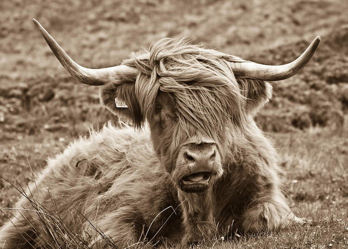 Sepia Greeting Card featuring the photograph Highland Cow by Justin Albrecht