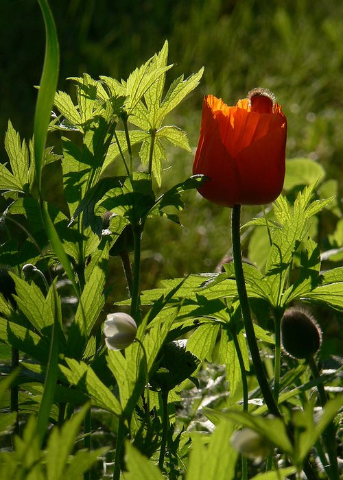 Poppy Greeting Card featuring the photograph Highlight by Natalie LaRocque