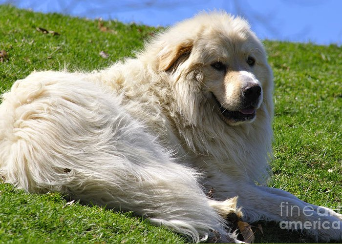 Great Pyrenees Greeting Card featuring the photograph Hillside Watch by Thomas R Fletcher