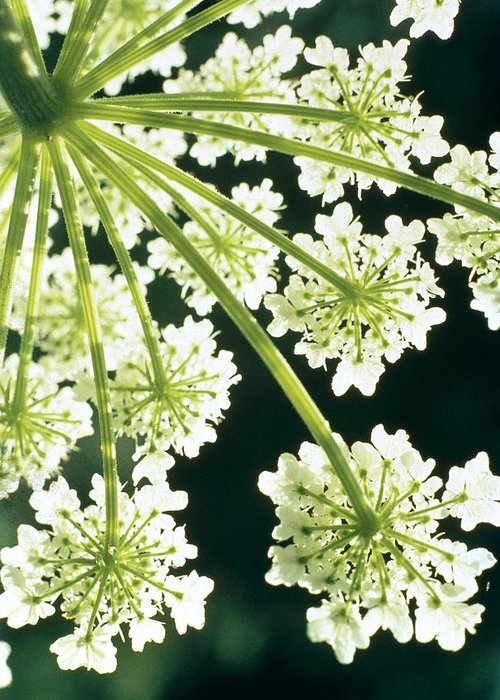 Flower Greeting Card featuring the photograph Himalayan Hogweed Cowparsnip by American School