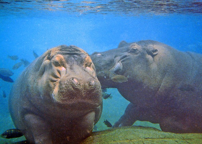 Animals Greeting Card featuring the photograph Hippos In Love by Steve Karol