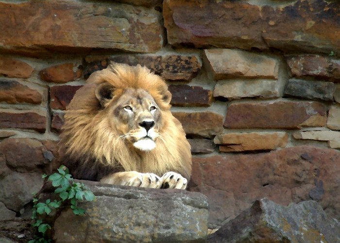 Lion Greeting Card featuring the photograph His Highness by Chuck Shafer