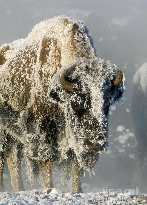 Bison Greeting Card featuring the photograph Hoarfrosted Bison In Yellowstone by Sandra Bronstein