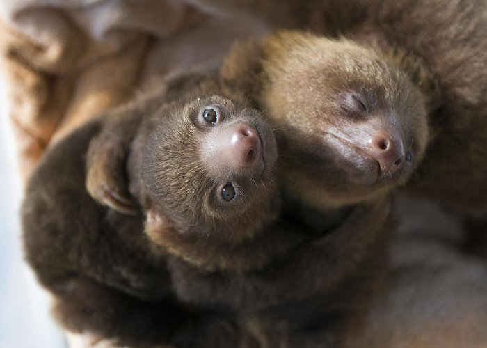 Mp Greeting Card featuring the photograph Hoffmanns Two-toed Sloth Orphans Hugging by Suzi Eszterhas