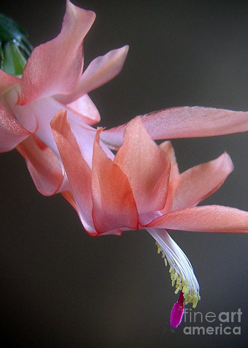 Nature Greeting Card featuring the photograph Holiday Cactus - Gliding by Lucyna A M Green