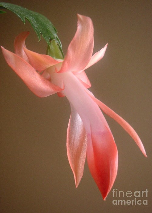 Nature Greeting Card featuring the photograph Holiday Cactus - In Day Light by Lucyna A M Green