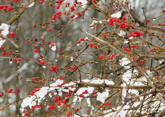 Scenic Greeting Card featuring the photograph Holly Berries by Martie DAndrea