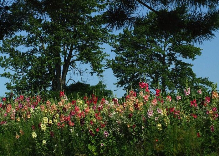 Indiana Landscapes Greeting Card featuring the photograph Hollyhocks And Trees by Michael L Kimble