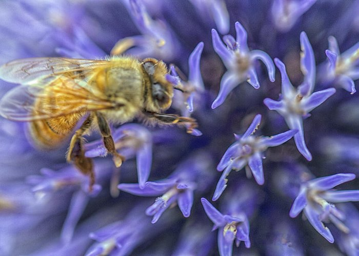 Honey Bee Greeting Card featuring the photograph Honey Bee On Globe Allium by Constantine Gregory
