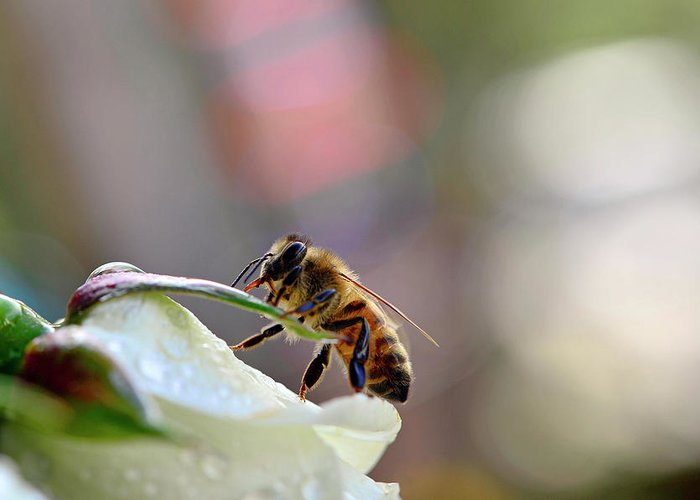 Bee Greeting Card featuring the photograph Honey Bee Visiting White Rose by Laura Mountainspring