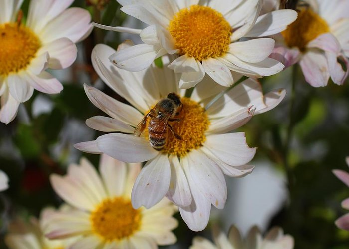 Bee Greeting Card featuring the photograph Honeybee And Daisy Mums by Kathryn Meyer