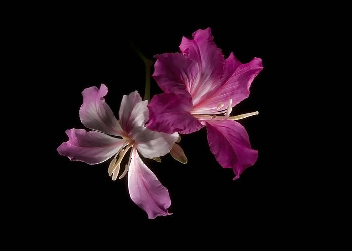 Solitude Greeting Card featuring the photograph Hong Kong Orchid 4 by Lou Novick