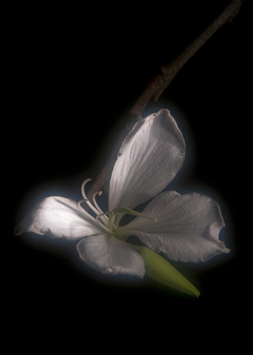 Solitude Greeting Card featuring the photograph Hong Kong Orchid by Lou Novick