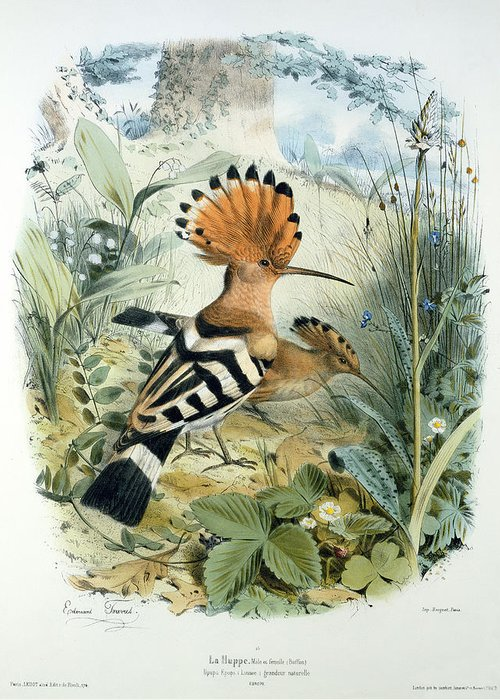 Hoopoe (upupa Epops) (colour Litho) By Edouard Travies (1809-c.1865) Greeting Card featuring the painting Hoopoe by Edouard Travies
