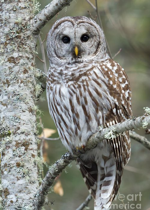 Barred Owl Greeting Card featuring the photograph Hoot Hoot Hoot Are You by Beve Brown-Clark Photography