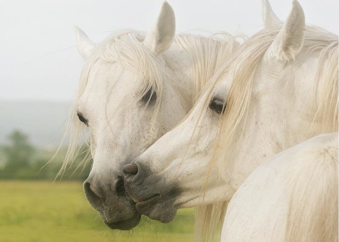 Horse Greeting Card featuring the photograph Horse Kiss by ELA-EquusArt