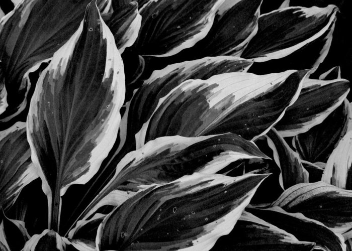 Plant Greeting Card featuring the photograph Hosta by Michael L Kimble