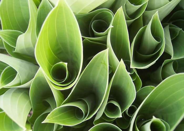 Hostas Green Leaves Circles Garden Plants Greeting Card featuring the photograph Hostas 5 by Anna Villarreal Garbis