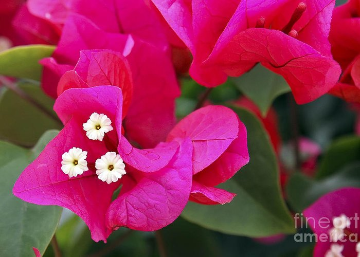 Flower Greeting Card featuring the photograph Hot Pink Bougainvillea by Teresa Zieba