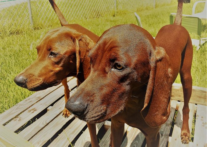 Hounds Redbone Dogs Hunting Animals Cute Greeting Card featuring the photograph Hounds by Lee Barrett