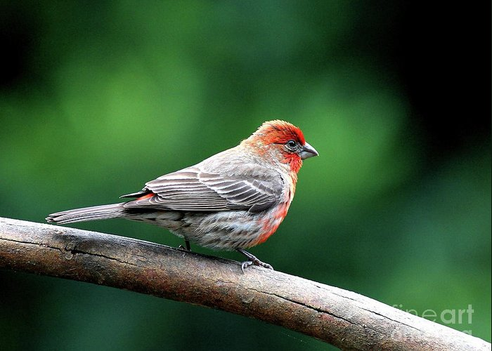 Bird Greeting Card featuring the photograph House Finch . 40d7227 by Wingsdomain Art and Photography