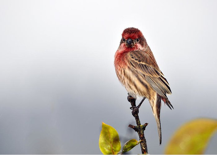 House Finch Greeting Card featuring the photograph House Finch In Autumn Rain by Laura Mountainspring