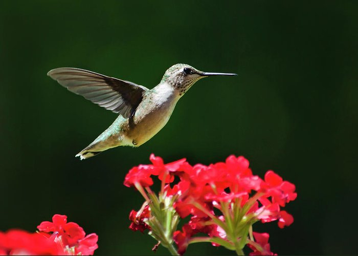 Hummingbird Greeting Card featuring the photograph Hovering Hummingbird by Christina Rollo