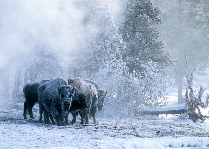 Yellowstone Greeting Card featuring the photograph Huddled For Warmth by Sandra Bronstein