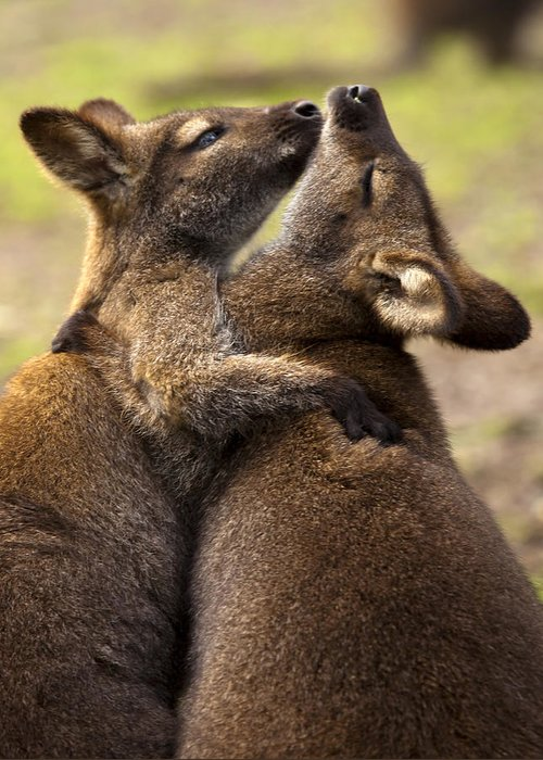 Wallaby Greeting Card featuring the photograph Hugs by Mike Dawson