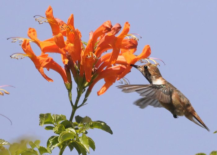 Bird Greeting Card featuring the photograph Hummingbird And Honeysuckle by Clarence Alford