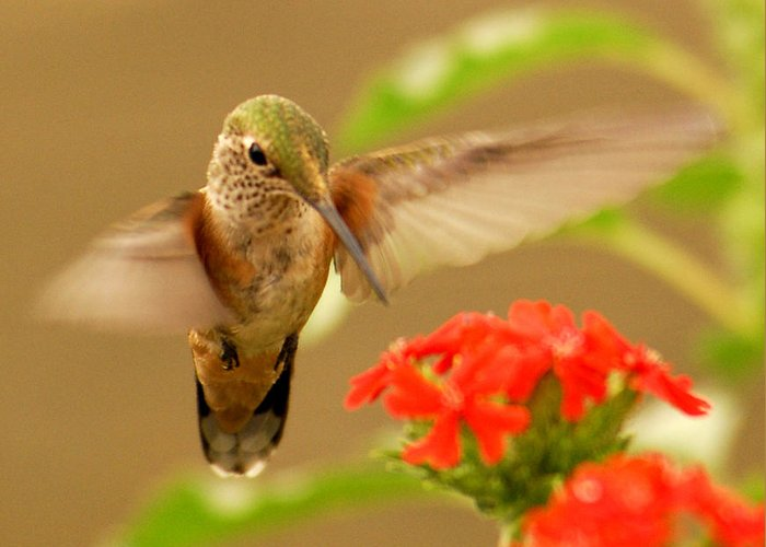 Humming Bird Greeting Card featuring the photograph Hummingbird by Don Wolf