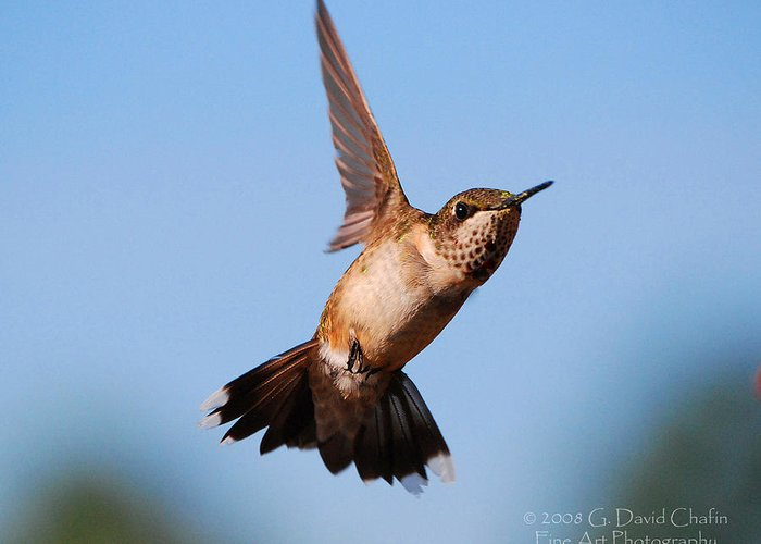 Animal Greeting Card featuring the photograph Hummingbird In Flight by Dave Chafin
