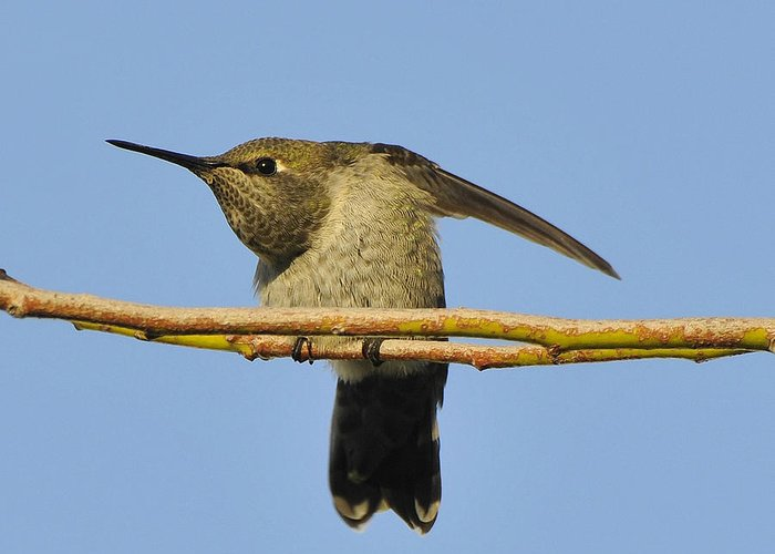Bird Greeting Card featuring the photograph Hummingbird Looking Right by Clarence Alford