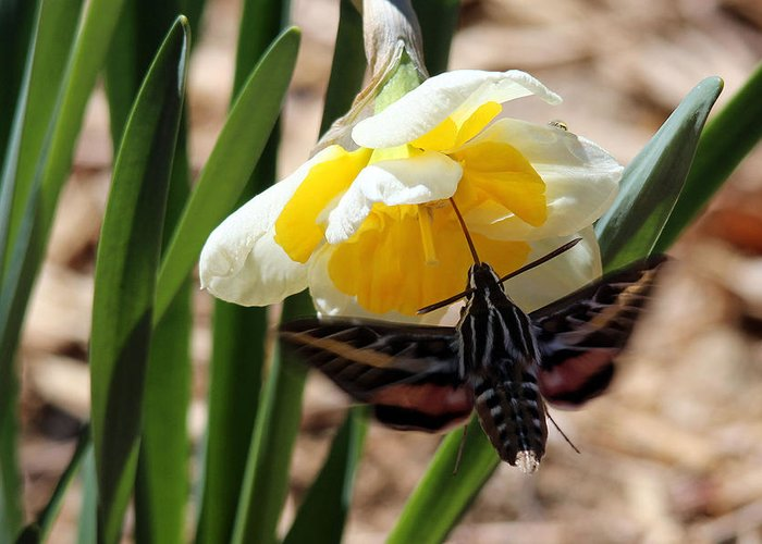 Moth Greeting Card featuring the photograph Hummingbird Moth by Samantha Burrow