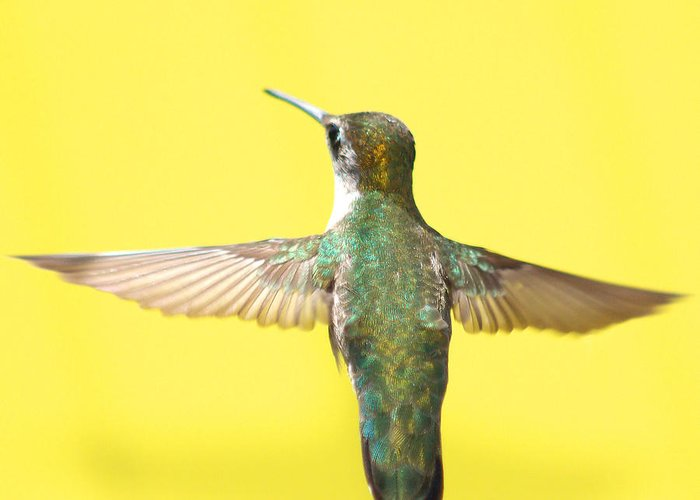 Hummingbird Greeting Card featuring the photograph Hummingbird On Yellow 4 by Robert Suits Jr