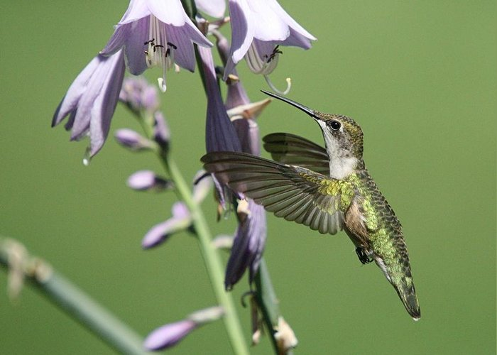 Hummingbird Greeting Card featuring the photograph Hummingbird by Paul McCarthy