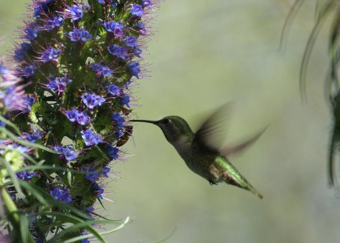 Hummingbird Greeting Card featuring the photograph Hummingbird Sharing by Ernie Echols