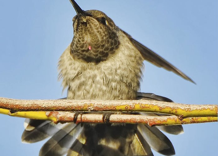 Bird Greeting Card featuring the photograph Hummingbird Spreading Wings by Clarence Alford