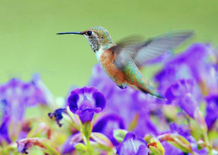 Hummingbird Greeting Card featuring the photograph Hummingbird Visiting Violets by Laura Mountainspring