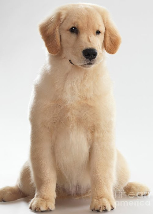 Golden Retriever Greeting Card featuring the photograph Humorous Photo Of Golden Retriever Puppy by Oleksiy Maksymenko